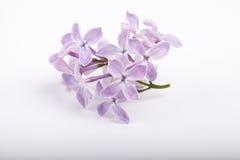 Kleiner Brunch von lila Blumen auf weißem Hintergrund Lizenzfreies Stockfoto
