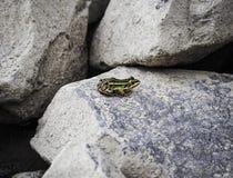 Kleiner bunter Frosch stockfotografie