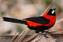 Kleiner bunter tropischer Vogel auf einem Zweig Lizenzfreie Stockfotografie