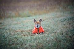 Kleiner Chihuahuahund, der goldenen Sonnenuntergang im Gras genießt Es schaut zur Kamera auf buntem Feld Stockfotografie