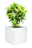 Kleiner dekorativer Baum lokalisiert stockbilder