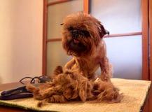 Kleiner dekorativer Hund während des Pflegens lizenzfreie stockbilder