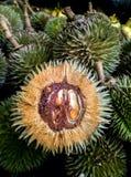Kleiner Durians Wald Stockfotografie