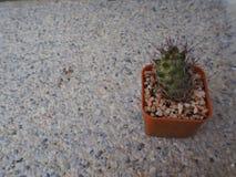 Kleiner eingemachter Kaktus in einem schönen orange Topf Lizenzfreie Stockbilder