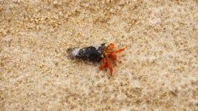 Kleiner Einsiedlerkrebs auf Strand stock footage