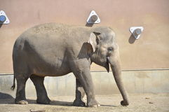 Kleiner Elefant Stockfotografie