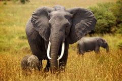 Kleiner Elefant folgt der Mutter auf den Ebenen des Masais Mara stockbild
