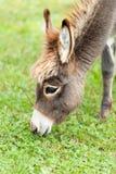 Kleiner Esel Stockbild