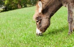 Kleiner Esel Stockfoto