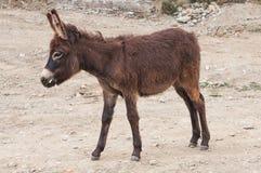 Kleiner Esel Lizenzfreies Stockfoto