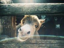 Kleiner Esel auf einem Familienbauernhof Stockbilder