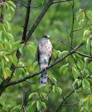 Kleiner Falke stockfotografie