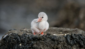 Kleiner Flamingo Küken Karibischer Meere kuba Lizenzfreies Stockbild