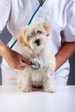 Kleiner flaumiger Hund an der Veterinärüberprüfung Lizenzfreies Stockbild