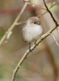 Kleiner flaumiger wilder Vogel stockfoto