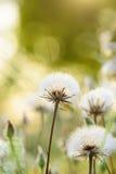 Kleiner Frühlingslöwenzahn Stockfoto