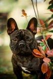 kleiner französischer Stierhund des netten Porträtschwarzen auf Gras sitzen Grüner Wald auf Hintergrund stockfotos