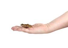 Kleiner Frosch auf einer weiblichen Palme lokalisiert Stockfotografie