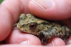Kleiner Frosch in der menschlichen Hand lizenzfreie stockbilder