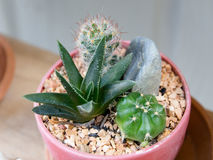 Kleiner Garten des Kaktus Lizenzfreies Stockbild