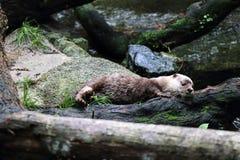 Kleiner gekratzter Otter Asiens Lizenzfreie Stockfotografie