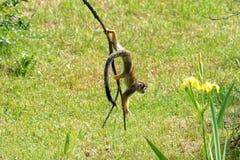 Kleiner gelber Affe auf den Niederlassungen Lizenzfreies Stockbild