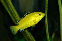 Kleiner gelber afrikanischer Cichlid stockfotos