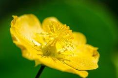 Kleiner gelber Blütenstaub auf Blumen Stockfotografie