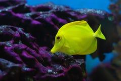Kleiner gelber Quakfisch Lizenzfreies Stockbild