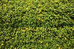 Kleiner gelber Rasen blüht Hintergrund Buttergänseblümchenkraut im Sonnenlicht Lizenzfreies Stockfoto