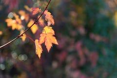 Kleiner gelber und roter Herbstlaub auf einzelner Niederlassung mit Herbstfarben im Hintergrund stockbilder