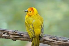 kleiner gelber vogel stock fotos melden sie sich kostenlos an. Black Bedroom Furniture Sets. Home Design Ideas
