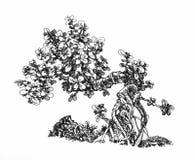 Kleiner Geld-Baum, geneigter Bonsai Stockfoto