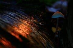 Kleiner giftiger Pilz Stockbild