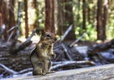 Kleiner Golden-überzogener Ziesel im Mammutbaumwald Lizenzfreies Stockfoto