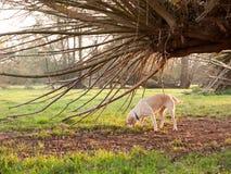 Kleiner golden retriever-Hund, der unter Baum im Land spielt Stockfotos