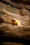 Kleiner goldener Affe Stockfotografie