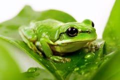 Kleiner grüner Baumfrosch auf den Blättern stockbilder