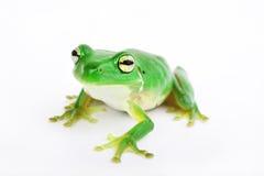 Kleiner grüner Baumfrosch auf weißem Hintergrund Stockbild