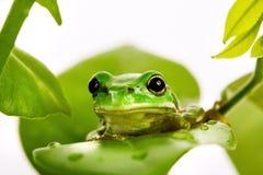 Kleiner grüner Baumfrosch, der auf den Blättern sitzt stockfotos