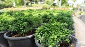 Kleiner grüner Buschbaum Lizenzfreie Stockfotos