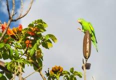 Kleiner grüner Papagei auf Blumenbaumast Lizenzfreies Stockbild