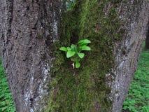 Kleiner grüner Sprössling auf altem Baum mit Moos stockfoto