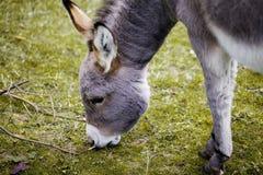 Kleiner grauer Esel Stockfoto
