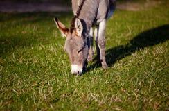 Kleiner grauer Esel Stockfotos