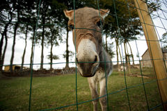 Kleiner grauer Esel Stockfotografie