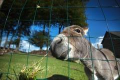 Kleiner grauer Esel Stockbild