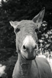 Kleiner grauer Esel Stockbilder
