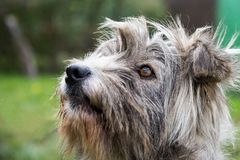 Kleiner grauer Hund Lizenzfreies Stockfoto