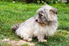 Kleiner grauer Hund stockbild